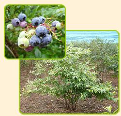 オーナー様のブルーベリーの木